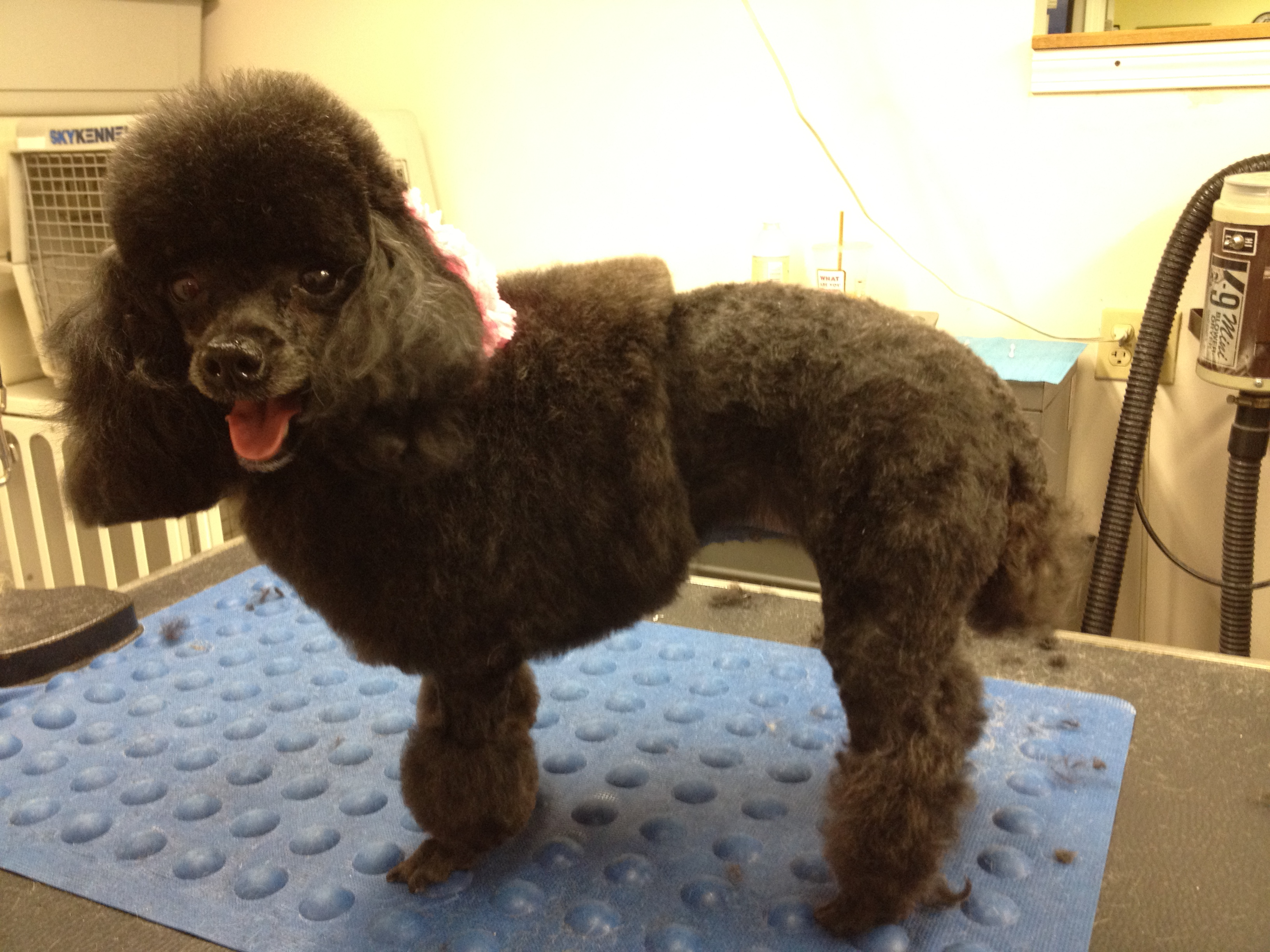 Cost of dog grooming typical price quotes poodlecut3 solutioingenieria Gallery
