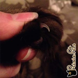 Cat Nail Close up
