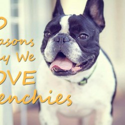 10 Reasons Why You love Your Frenchie