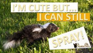 Do Baby Skunks Spray