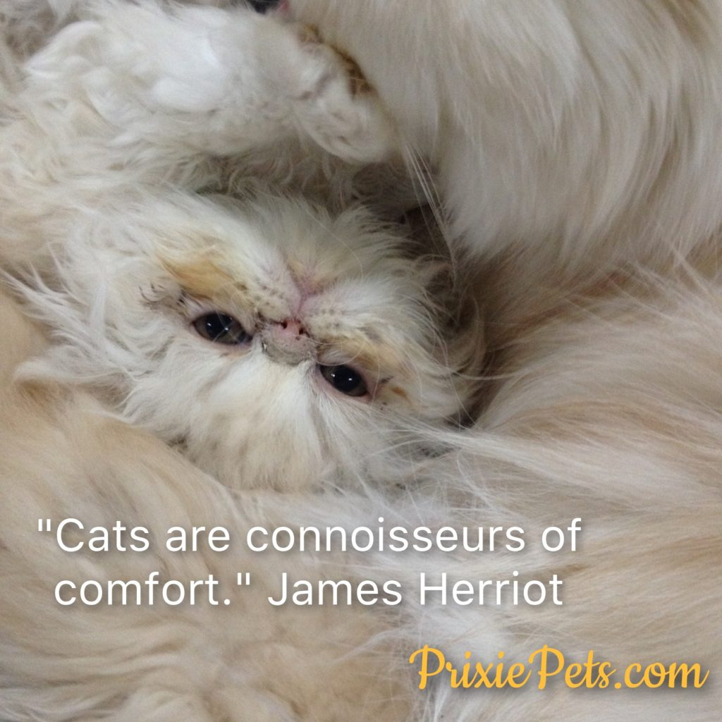 Cute Persian Cat Comfort