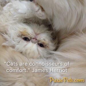 Cute Persian Cat Comfort