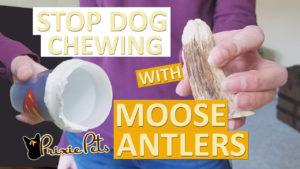 Moose Antlers Deter Dog Chewing