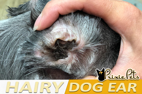 How to Remove Dead Hair from Your Dog's Ears