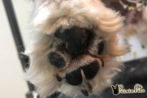 Shaved, Clean Dog Paw Pad